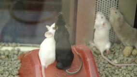 Mice in cage stock video