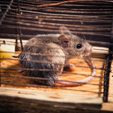 Mice caught in the cage mousetrap Stock Photo
