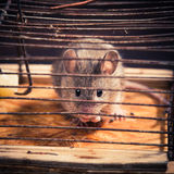 Mice caught in the mousetrap Royalty Free Stock Photos