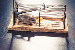 Mice caught in the mousetrap Royalty Free Stock Photo
