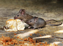 Mice eating a scone in house garden. Mice eating a scone in house garden in sunshine royalty free stock images