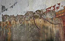 The mice family. A number of mice sitting on the edge of an old door stock photography
