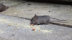 Mice feeding on crumbs in house garden. stock footage