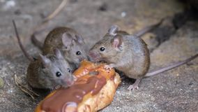 Mice feeding on discarded cake in an urban house garden.