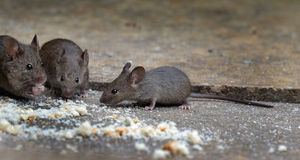 Mice feeding in house garden. Mice feeding in house garden on crumbs left for birds Stock Photo
