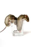 Mice In Glass stock photo