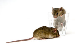 Mice and Glass Stock Photography