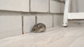 Mice or hamsters run all over floor in house.