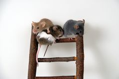 Mice on toy staircase. Three mice climbing a a wooden toy staircese royalty free stock image