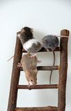 Mice on toy staircase. Three mice climbing a a wooden toy staircese Stock Photo