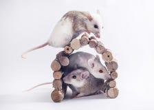 3 mice on white backdrop.  royalty free stock photo