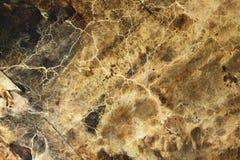 Micelio e ifa del fungo della putrefazione a secco fotografia stock libera da diritti