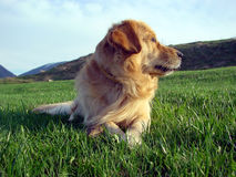 Michael. Golden retriever - close profile Stock Images