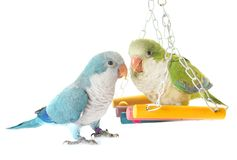 Michaelita parakeet w studiu obraz royalty free