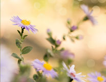 Michaelmas雏菊,叫作纽约翠菊,在亮光bokeh背景的秋天 库存图片