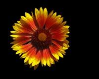 Michaelmas daisi flower Royalty Free Stock Images