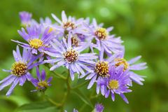 Michaelmas daisy Stock Photo