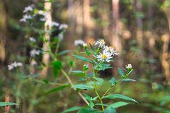 Michaelmas daisy on the background of autumn forest in sunlight. It`s a perennial bush aster.  Unpretentious autumn flower pleases us till winter Stock Photo