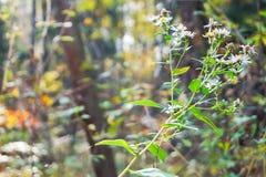 Michaelmas daisy on the background of autumn forest in sunlight. It`s a perennial bush aster.  Unpretentious autumn flower pleases us till winter Stock Photos