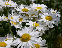 Michaelmas daisy. Flower, also known as Oxeye Daisy stock photography