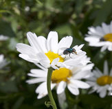 Michaelmas daisy. Flower, also known as Oxeye Daisy with fly in the centre stock image