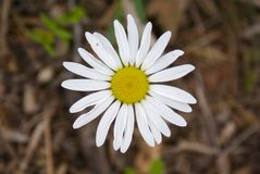 Michaelmas daisy Stock Photography