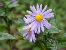 Michaelmas daisy flowers after rain. Royalty Free Stock Photo