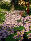 Michaelmas daisy in garden. New York Aster in village garden Stock Image