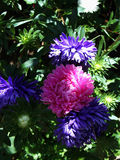 Michaelmas daisy Royalty Free Stock Photo