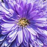 Michaelmas Daisy Royalty Free Stock Photography