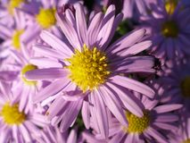 Michaelmas Daisy portrait. New York Aster in flower background. Entire frame covered by violet flowers. Other flowers in the background Royalty Free Stock Images