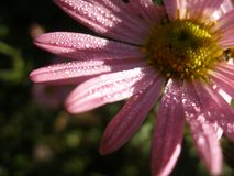Michaelmas Daisy - New York Aster. Close-up on Michaelmas Daisy with rain droplets lit by sun rays. Flower located on the right side of the frame. Quarter part Royalty Free Stock Photos