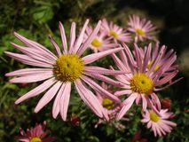 Michaelmas Daisy New York Aster. Michaelmas Daisy in sunny light. Many flowers. Rosy color. Dark blurred background Stock Images