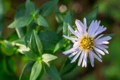 Michaelmas daisy - perennial bush aster. Unpretentious autumn flower pleases us till winter Royalty Free Stock Photos