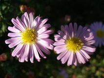 Michaelmas daisy. Two New York Asters on dark background in sunny light Stock Photo