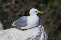 michahellis Amarelo-equipados com pernas do Larus da gaivota em Gibraltar Fotos de Stock