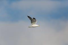 michahellis Amarelo-equipados com pernas do Larus da gaivota em voo Imagem de Stock