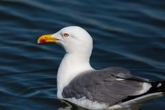 Michahellis amarelo-equipados com pernas naturais do larus da gaivota do retrato da vista lateral Imagem de Stock