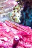 Michel gospodarza goby (Pleurosicya micheli) Fotografia Stock
