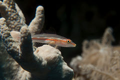 Michels host goby (Pleurosicya micheli) Royalty Free Stock Photography