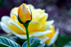 Michelangelo Yellow Rose Flower Bud Royaltyfri Foto