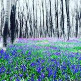 micheldever Holzglockenblumen Winchester Hampshire Lizenzfreie Stockfotos