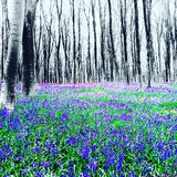 micheldever woods bluebells Winchester Hampshire royalty free stock photos