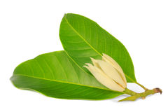 Michelia alba Lizenzfreies Stockbild