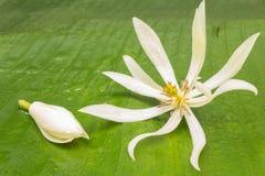 Michelia alba Images stock