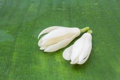 Michelia alba Stockbilder