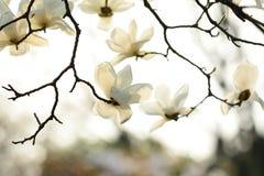 Michelia alba Imagens de Stock Royalty Free