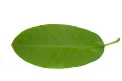 Michelia alba blad Stock Foto's