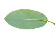 Michelia alba blad in rug Royalty-vrije Stock Afbeeldingen