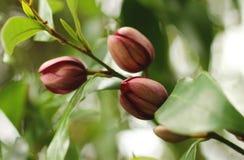 Michelia figo with closed flower buds. Royalty Free Stock Photo